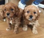 Red Cavapoos