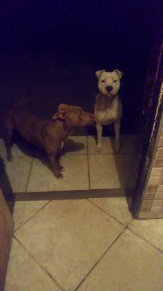 American Pitbull Terrier puppies available for sale
