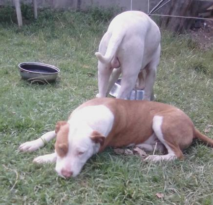 American Pit bull pup
