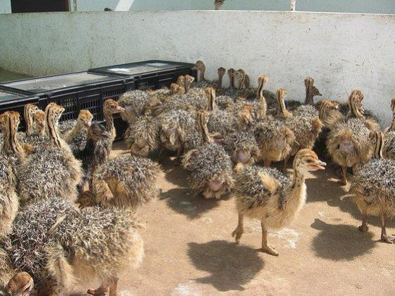 Ostrich and fertile eggs of Ostrich for sale