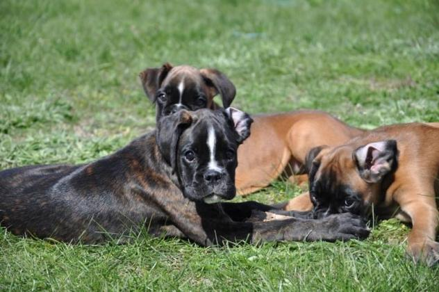 Very sweet Boxer pups. male and female