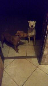 American Pitbull Terrier puppies available for ...