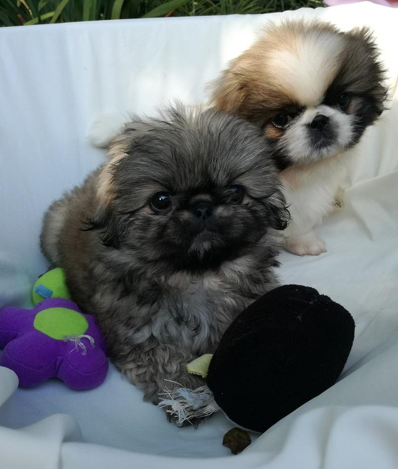 Shih Tzu Mini Maltese Puppies Port Shepstone Maltese Puppies Dog Breeders Gallery