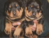 Registered Male and Female Rottweiler puppies for Sale.