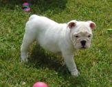 English Bulldog puppies ready for a new home