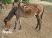 Gorgeous Zebra horses for new homes