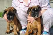 Male Boxer puppies ready now