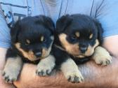 Rottweiller Puppies for sale to good home