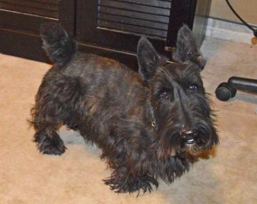 3 Scottish Terrier Puppies
