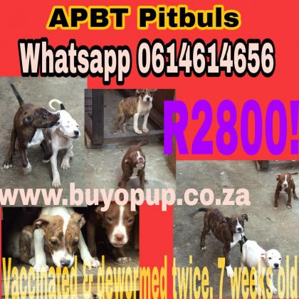 APBT American Pitbulls - Rare Colors