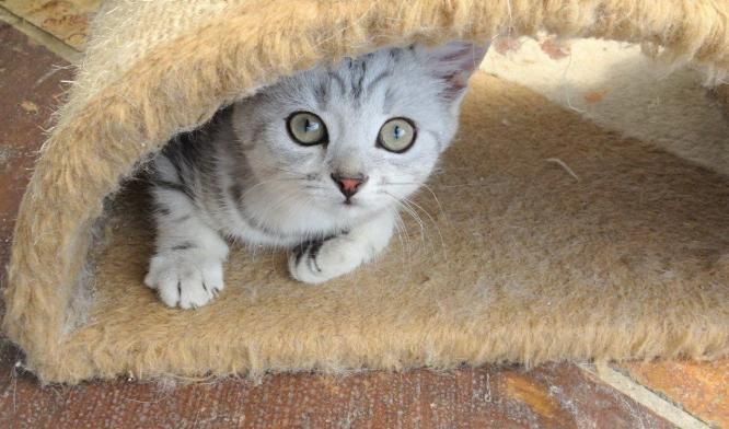 Beautiful British Shorthair Kitten ready to go 5 kittens