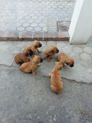 Beautiful  pure breed boerboel pups for sale