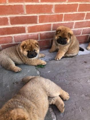 Chow Chow Puppies Sale