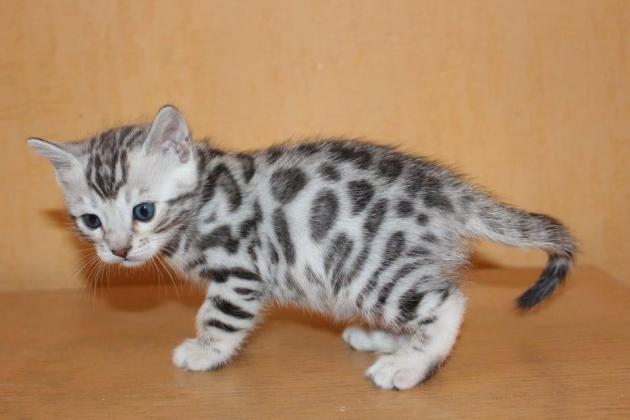 Cute and adorable bengal kitten for sale