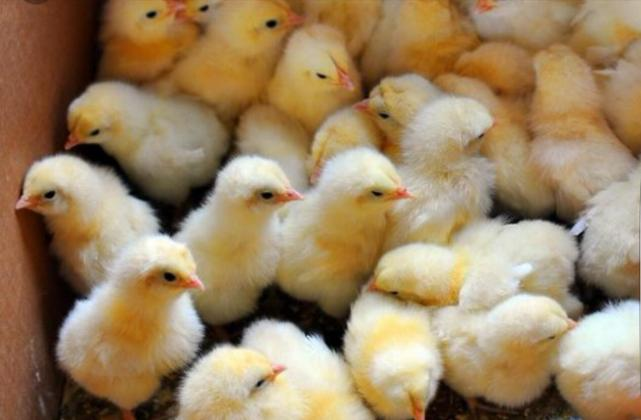 Day old broiler chicks for sell