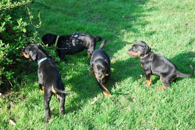 Doberman Puppies Available
