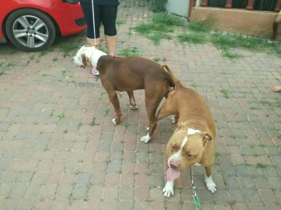 Registered american pitbull puppies