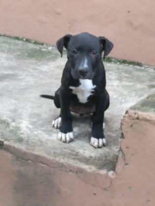 Through breed APBT Female pitbull