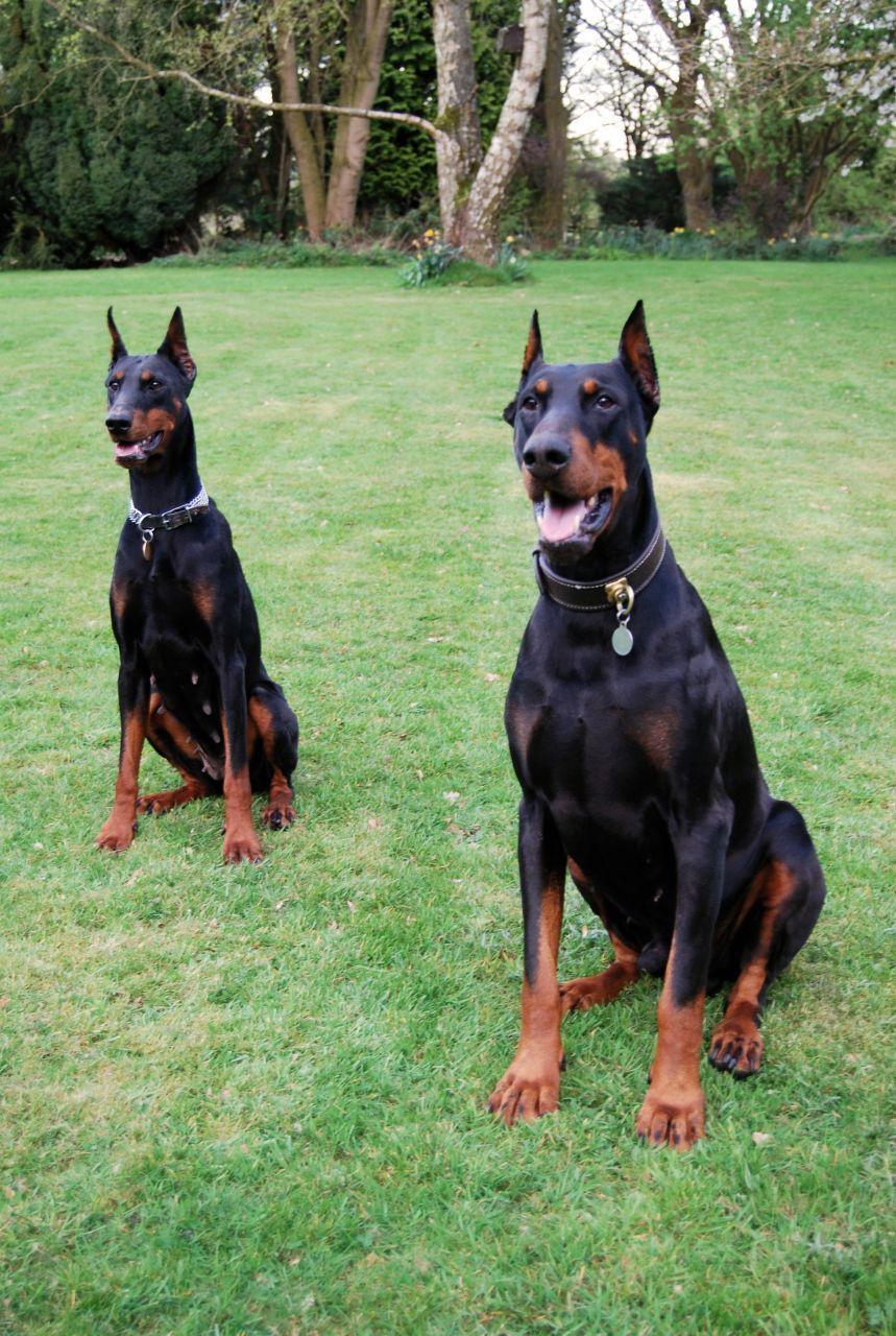 Doberman Puppies Available Vereeniging Doberman Pinscher Puppies Dog Breeders Gallery