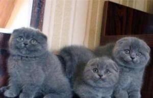 Amazing Scottish Fold and Straight Kittens.