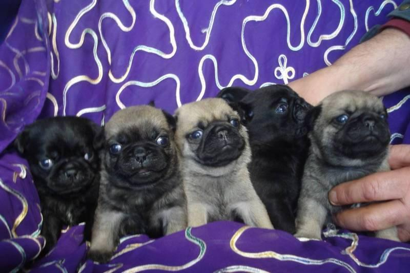 Litter Of Pug Puppies For Sale Cape Town Pug Puppies Dog