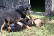 7 Stunning Purebred German Rottweiler Puppies for sal