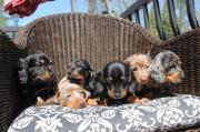 Adorable Unique miniature Dachshund Puppies ready to go