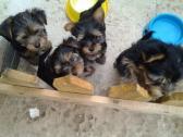 Beautiful  Yorkies Puppies
