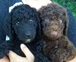 Chocolate & Black Standard Poodles For Sale