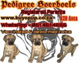 Pedigree Boerboel puppies