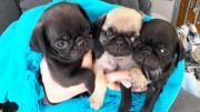 Pug puppies for sell