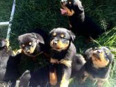 Pedigree Rottweiler Puppies