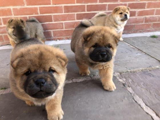 8-9 weeks Chow Chow puppies for sale.