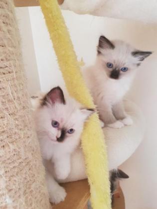 Beautiful Ragdoll Kittens For Sale