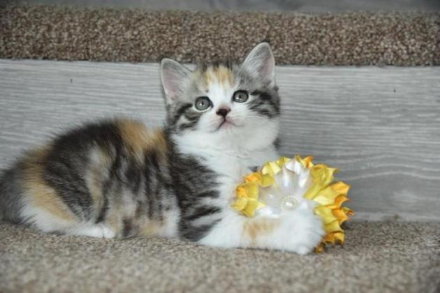 British Shorthair Female Kitten