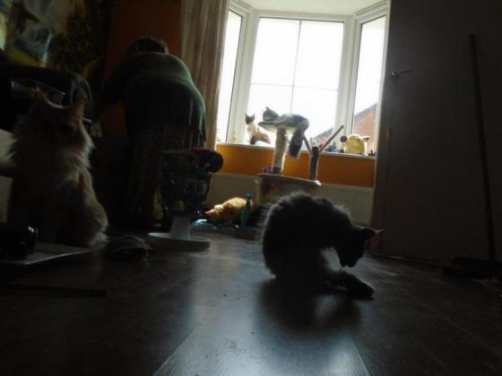 Elegant And Adorable Norwegain Forest Kittens