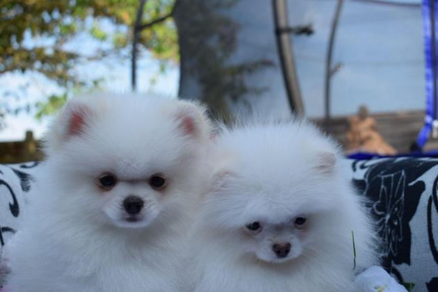 Gorgeous Pomeranian Puppies Available!