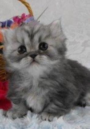 Healthy Adorable male and female Munchkin kittens for sale