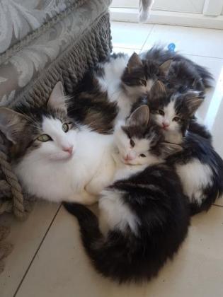 Pure Breed Norwegian Forest Kitten