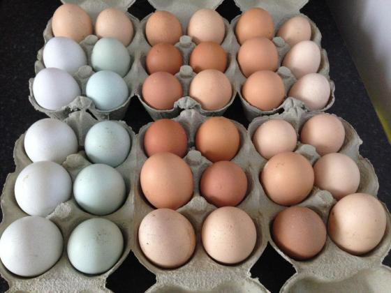 Quality Day Old Chicks and fertile eggs available.