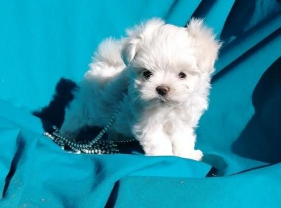 Ready To Leave Now Stunning Tea Cup Maltese Pups