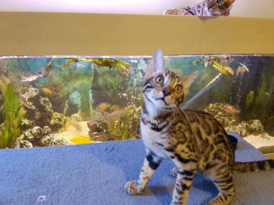 Stunning Brown Rosetted Bengal Kittens
