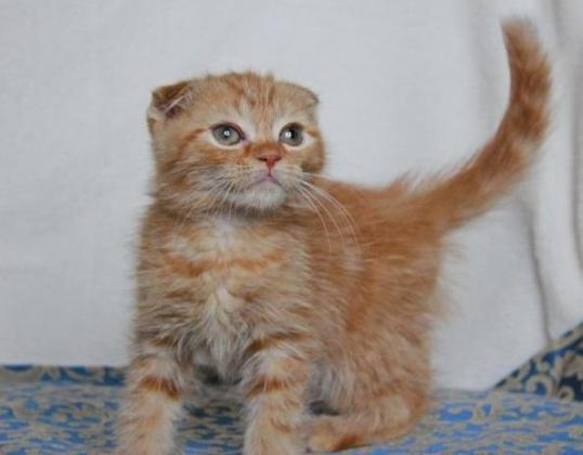 Absolutely Stunning Scottish Fold And Straight Kittens For Sale.