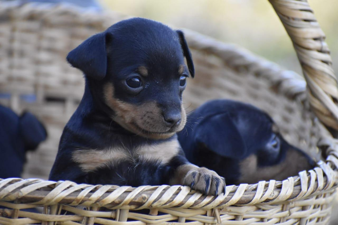 Doberman Miniatuur Hondjies Clarens Doberman Pinscher Puppies