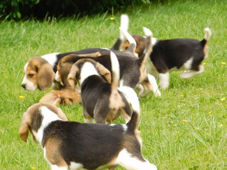 Full Pedigree Beagle Puppies Umhlanga Rocks Beagle Puppies