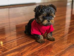 Doll face *Teacup* Toy* Yorkie Puppies