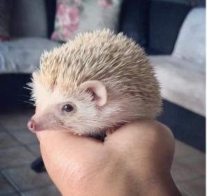 Gorgeous Pygmy Hedgehog for Sale. Comes with Ra...