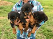 Adorable German Rottweiler Puppies!!