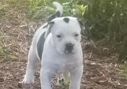 Alapaha Blue Blood Bulldog for sale.