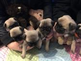purebred fawn pug babies for sale